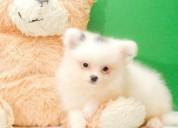 Regalo preciosa pomeranian cachorros minis