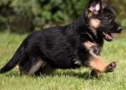 Se venden cachorros pastor aleman