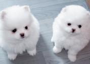 A pequeños cachorros de pomerania
