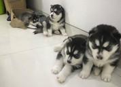 Z juguetones cachorros de husky siberiano