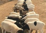 Excelentes corderos a la venta